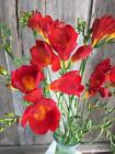 Freesia Single Red -Bulb Size 4 /5 -Very Easy To Grow Home Plant Bonsai Indoor