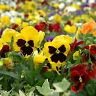 PANSY FLOWER GARDEN SEEDS - SWISS GIANT MIX - ANNUAL FLOWER GARDENING SEED