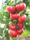 Beefsteak Tomato Seeds, Heirloom, NON-GMO, Variety Sizes, FREE SHIPPING