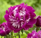 Perennial Celebrity Peony Bare Roots Impressive DIY Great For Fall Planting Bulb
