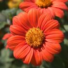 Mexican Sunflower Seeds, Orange, Tithonia, Attract Butterflies, Daisy-Like Bloom, used for sale  Deltona