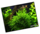 Moss - Fissidens, Peacock and more - Live Aquatic Aquarium Tropical Tank Plants <br/> Buy 3 get 1 free and better offers.