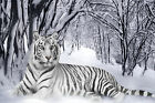 White Tiger Snow WALL ART CANVAS FRAMED OR POSTER PRINT