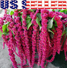 200+ Love Lies Bleeding Amaranthus Seeds Tassel Flower Burgundy Red Foxtail USA