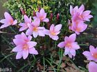 12-50 ZEPHYRANTHUS ROBUSTUS (HABRANTHUS) PINK RAIN LILY BULBS SUMMER PERENNIAL