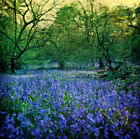 Pete Kelly BLUEBELL WOOD I designer print, PREMIUM QUALITY, various sizes new