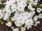 Petunia Seeds Super Cascade White Pelleted Seeds 50, 200 Or 500