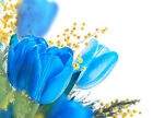 25-50-100-200 Turquoise Blue Tulip Flower Seeds - Buy Any 3 Get 1 FREE!!