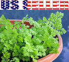 200+ ORGANICALLY GROWN Chervil French Parsley Seeds Herb Heirloom NON-GMO