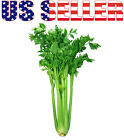 1000+ ORGANICALLY GROWN Kintsai Chinese Dark Green Celery Seeds Heirloom NON-GMO