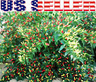 30+ ORGANICALLY GROWN Angkor Sunrise Hot Pepper Seeds Heirloom NON-GMOFrom USA