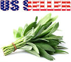100+ ORGANICALLY GROWN Broad Leaved Sage Heirloom NON-GMO Fragrant Herb Perennia