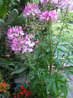 15 Cleome Bee Butterfly Attractor Perennial flower plant SEED