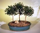 "Brush Cherry Flowering Indoor Bonsai 3 Tree Group Eugenia Myrtifolia 5 yr 6-7"" T"
