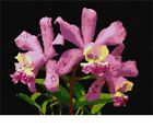 Open Orchids Needlepoint Kit or Canvas (Floral /Flower /Nature)