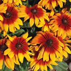 RUDBECKIA HIRTA~CAPPUCCINO~HUGE ORANGE-RED BLACK-EYED SUSAN LIVE PERENNIAL PLANT