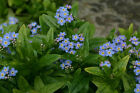 buy forget me not plants