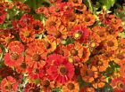 Helenium autumnal - Red & Gold Mix. Hardy Perennial Flower.