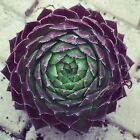 Succulent Cutting - Rooted - Sempervivum  - Very Healthy