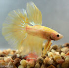 IMPORTED HM Betta Fish Golden Yellow Halfmoon Rosetail Butterfly