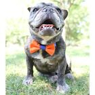 Orange and Blue Bow Tie for Dogs (UOH) - FREE SHIPPING
