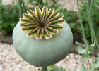 Unwashed Papaver Somniferum Poppy Seeds Blue, White, Red, Variety Mix Flower
