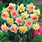 100 Pcs Narcissus Flower Daffodil Seeds Bonsai Plants Double Petals Absorption