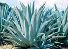 Blue Agave Live Rooted Thorned Succulent 5-8 Inch Easy To Grow 1-2 Year Old