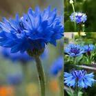 20 pcs Cornflower Seeds Blue Centaurea Cyanus Flower Seeds ONMF 02
