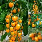 20PCS Rare Golden Cherry Tomatoes Seeds Yellow Tomato Seed Garden H1PS