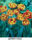 1 20 50 100 250 Golden Nizza Double Red & Yellow Tulip Spring Bulbs