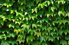 50Pcs Ivy Flowers Seeds 5 Type Hedera Hedgerow Garden Rockery Potted Home Bonsai