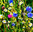 Wildflower mix for Bees and Butterflies  NO GRASS SEED !!!! - Annual