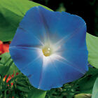 Morning Glory - Heavenly Blue - Seeds