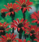 Zinnia Red Spider Seeds - Striking Annual Flower