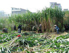 Elephant Napier Giant Maiden Reed Grass Seeds Cattle Chicken Feed Crop 18' Tall