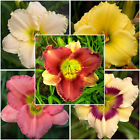 Daylily Collections, Easy To Add Daylilies In All Colors, Sizes and Features