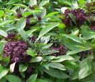 Basil Siam Queen Seeds Non GMO Aromatic Herb Gardening Good in Thai Cooking