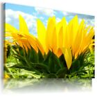 SUNFLOWERS YELLOW SUMMER FLOWER FIELDS Canvas Wall Art Picture Large FL26 X