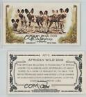 2011 Topps Allen & Ginter's Animals in Peril Minis #AP13 African Wild Dog Card