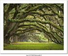 Oaks Avenue Charleston Sc Plantation Art Print Home Decor Wall Art Poster - C