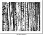Birch Trees  In Black And White Art Print Home Decor Wall Art Poster - C
