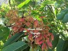 Ailanthus excelsa Indian Tree of Heaven Seeds Container gardening