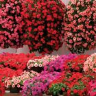Impatiens Summer Waterfall Busy Lizzy Plug Plants (4 to 6cm) £6.49 (25 plants)