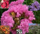 This Year Seeds Crape / Crepe Myrtle (Lagerstroemia Indica) Mixed Color Seed Pod