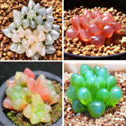 200pcs Rare Crystal Clear Beauty Succulents Seeds Easy To Grow Potted, Haworthia