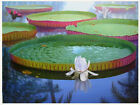 5-200Seeds Victoria water lily,Victoria Amazonica,Giant Water Lily,