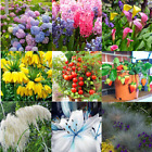 Mixed Lily/Hydrangea/Fescue/Calla/Hyacinth/Pampas Flower Seeds Home Garden Plant