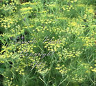 Dill Seeds Natural Non GMO Aromatic Herb - Pickles! Market or Home Gardens