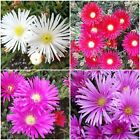 10/20/40 Ice Plant Cuttings Mixed Color Delosperma cooperi White Pink Red Hot